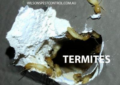 Pest Control Sydney - Termite Attack