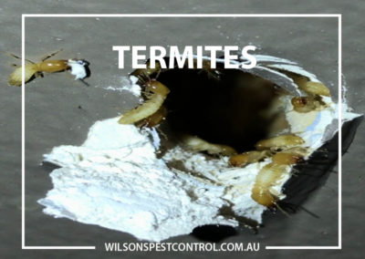 Pest Control Sydney - Termites Blacktown