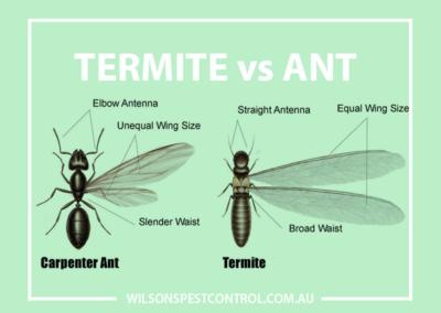 Pest Control Sydney - Termites vs Ants