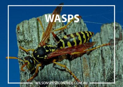 Pest Control Sydney - Wasp