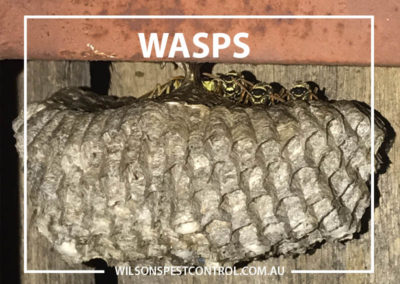 Pest Control Sydney - Wasp Yellow