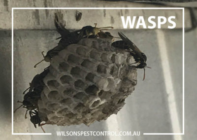 Pest Control Sydney - Wasps