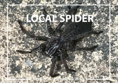 Pest Control Sydney - Webbing Spider