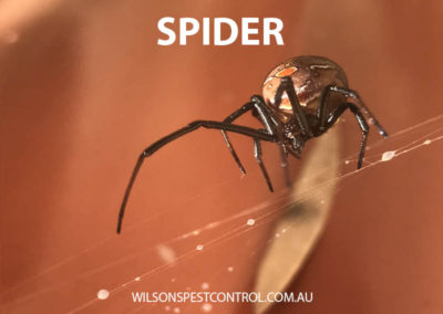 Pest Control Sydney - Webbing Spiders