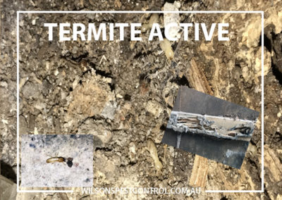 Pest control Sydney - Termites Active