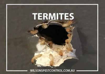 Pest control Sydney - Termites Wilsons Pest Control