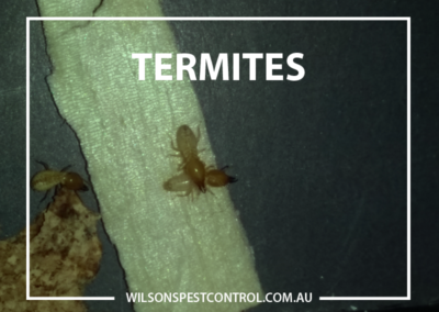 Termites v8