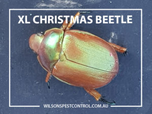 Christmas Beetle - Pest Control, lacktown Parramatta Kellyville Castle Hill Bella Vista Stanhope Gardens Tallawong Rouse Hill Schofields Riverstone Wilsons Pest Control have a solution for your pest needs whether it be for German Cockroaches, Large Cockroaches, Spiders, Ants, Flies, Fleas, Termites or Rats & Mice call 02 9679 8398