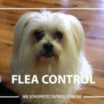 Flea Free Pest Control, Blacktown Parramatta Kellyville Castle Hill Bella Vista Stanhope Gardens Tallawong Rouse Hill Schofields Riverstone Wilsons Pest Control have a solution for your pest needs whether it be for German Cockroaches, Large Cockroaches, Spiders, Ants, Flies, Fleas, Termites or Rats & Mice call 02 9679 8398
