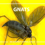 Gnats Pest Control, lacktown Parramatta Kellyville Castle Hill Bella Vista Stanhope Gardens Tallawong Rouse Hill Schofields Riverstone Wilsons Pest Control have a solution for your pest needs whether it be for German Cockroaches, Large Cockroaches, Spiders, Ants, Flies, Fleas, Termites or Rats & Mice call 02 9679 8398