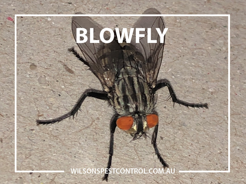 Pest Control Blowfly Wilson's Pest Control