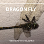 Dragon Fly, lacktown Parramatta Kellyville Castle Hill Bella Vista Stanhope Gardens Tallawong Rouse Hill Schofields Riverstone Wilsons Pest Control have a solution for your pest needs whether it be for German Cockroaches, Large Cockroaches, Spiders, Ants, Flies, Fleas, Termites or Rats & Mice call 02 9679 8398
