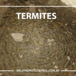 Termite Treatment Wilsons Pest Control, lacktown Parramatta Kellyville Castle Hill Bella Vista Stanhope Gardens Tallawong Rouse Hill Schofields Riverstone Wilsons Pest Control have a solution for your pest needs whether it be for German Cockroaches, Large Cockroaches, Spiders, Ants, Flies, Fleas, Termites or Rats & Mice call 02 9679 8398