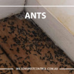 Pest Control Ants, lacktown Parramatta Kellyville Castle Hill Bella Vista Stanhope Gardens Tallawong Rouse Hill Schofields Riverstone Wilsons Pest Control have a solution for your pest needs whether it be for German Cockroaches, Large Cockroaches, Spiders, Ants, Flies, Fleas, Termites or Rats & Mice call 02 9679 8398