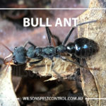 Ants Pest Control, lacktown Parramatta Kellyville Castle Hill Bella Vista Stanhope Gardens Tallawong Rouse Hill Schofields Riverstone Wilsons Pest Control have a solution for your pest needs whether it be for German Cockroaches, Large Cockroaches, Spiders, Ants, Flies, Fleas, Termites or Rats & Mice call 02 9679 8398