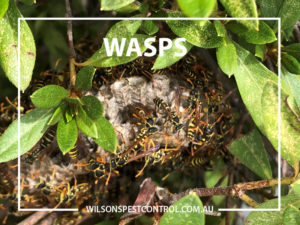 Wasps Nest Pest Control, Blacktown Parramatta Kellyville Castle Hill Bella Vista Stanhope Gardens Tallawong Rouse Hill Schofields Riverstone Wilsons Pest Control have a solution for your pest needs whether it be for German Cockroaches, Large Cockroaches, Spiders, Ants, Flies, Fleas, Termites or Rats & Mice call 02 9679 8398