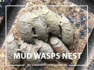 Wasp Control, lacktown Parramatta Kellyville Castle Hill Bella Vista Stanhope Gardens Tallawong Rouse Hill Schofields Riverstone Wilsons Pest Control have a solution for your pest needs whether it be for German Cockroaches, Large Cockroaches, Spiders, Ants, Flies, Fleas, Termites or Rats & Mice call 02 9679 8398