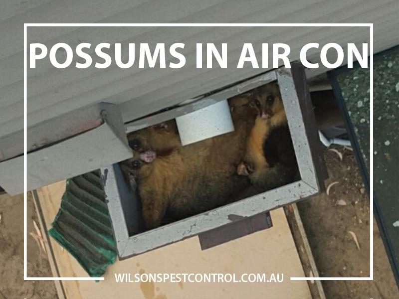 Possum in my Roof