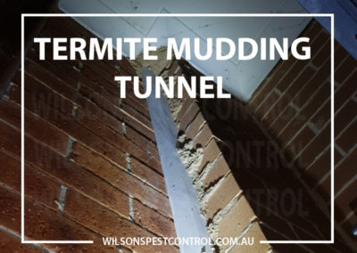 Pest Control - Termite Mudding Tunnel - Wilsons Pest Control