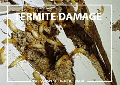 Wilsons Pest Control - Termite Damage Telopea