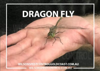 Pest Control - Dragon Fly Chemical Free environment - Wilsons Pest Control Gold Coast & Sydney