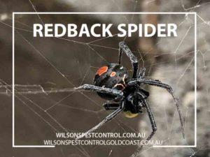 Pest Control Redback Spider - Holroyd & Blacktown