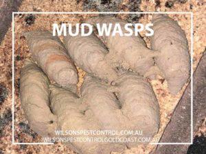 Wilsons Pest Control Mud Wasps blacktown & Holroyd
