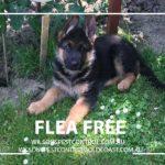 Wilsons Pest Control Flea Treatment Pet Friendly Blacktown Western Sydney