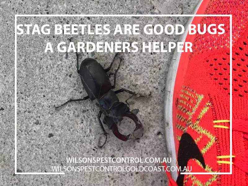 Stag Beetle The Good Bug Pest Control