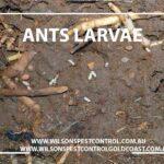 Wilsons Pest Control Ant Pest Control & Treatment of Ant Larvae