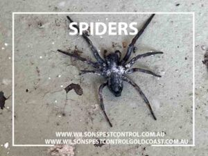 blacktown & Holroyd pest control for spiders