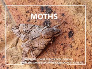 Wilsons Pest Control - Moths Large Brown Dural Kellyville Castle Hill Sydney