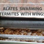 Swarming Insects with wings Termites blacktown pest control