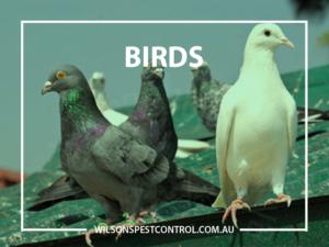Bird Pest Control blacktown & Holroyd