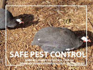 Safe Pest Control blacktown & Holroyd, birds & mites