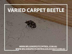 Wilsons Pest Control Varied Carpet Beetle blacktown Western Sydney
